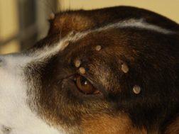 Ticks on dogs