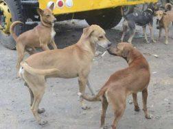 Dogs roaming in Nairobi