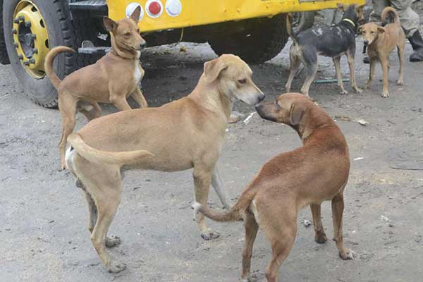 Dogs roaming in Nairobi